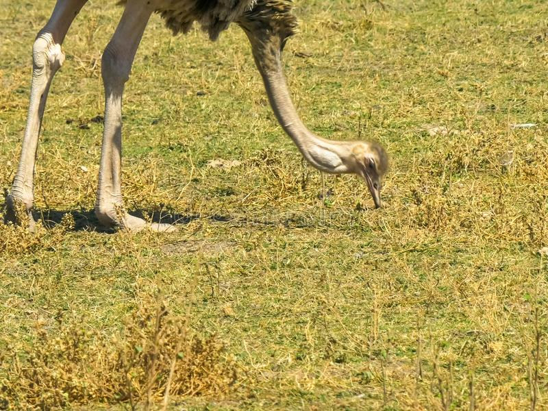 Sluit omhoog van het vrouwelijke struisvogel voeden bij amboseli royalty-vrije stock fotografie