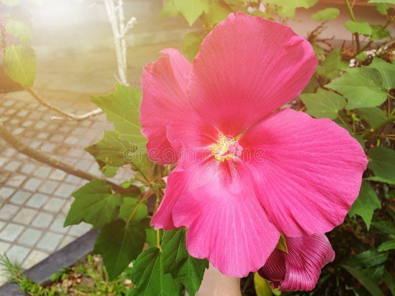 Sluit omhoog van hibiscus of Chaba-bloem met zonlicht op vage tak en bladerenachtergrond royalty-vrije stock foto