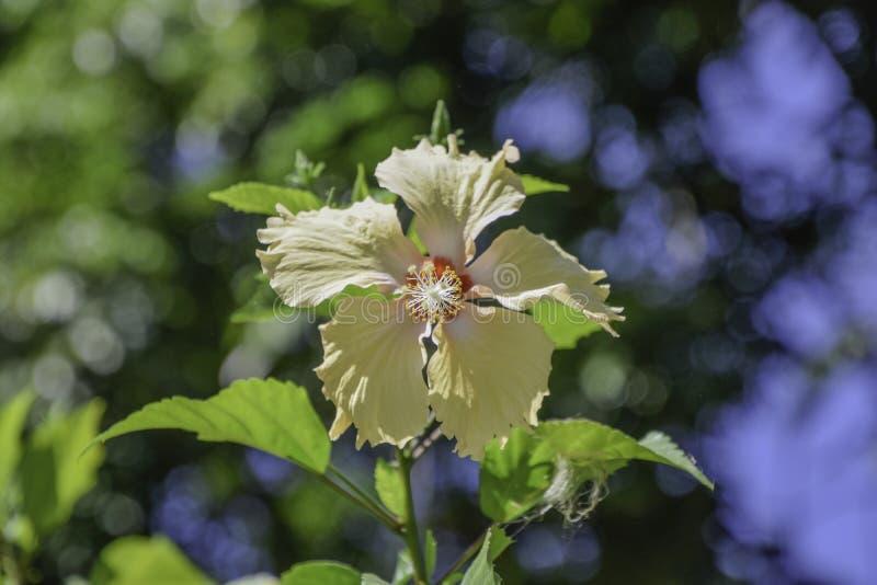 Sluit omhoog van hibiscusbloem royalty-vrije stock afbeelding