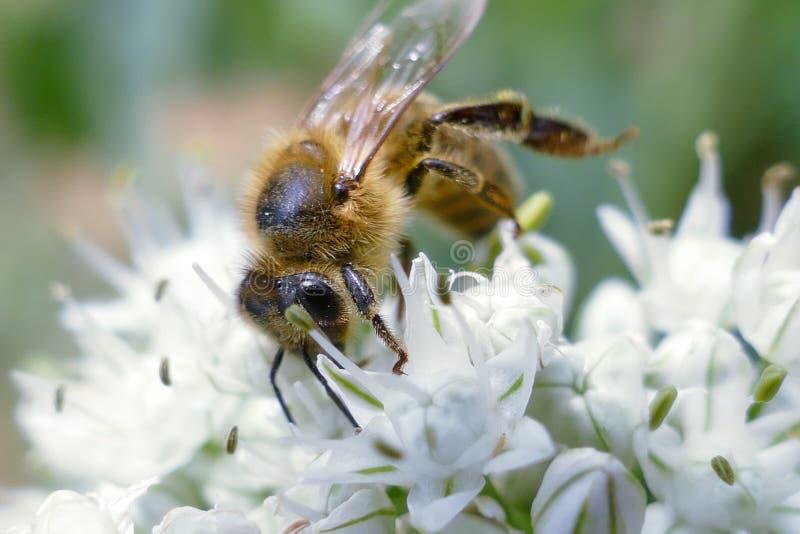 Sluit omhoog van honingbij het bestuiven bloem in de tuin De detailmening van Europese honingbij bestuift bloem op de zomertijd royalty-vrije stock afbeelding