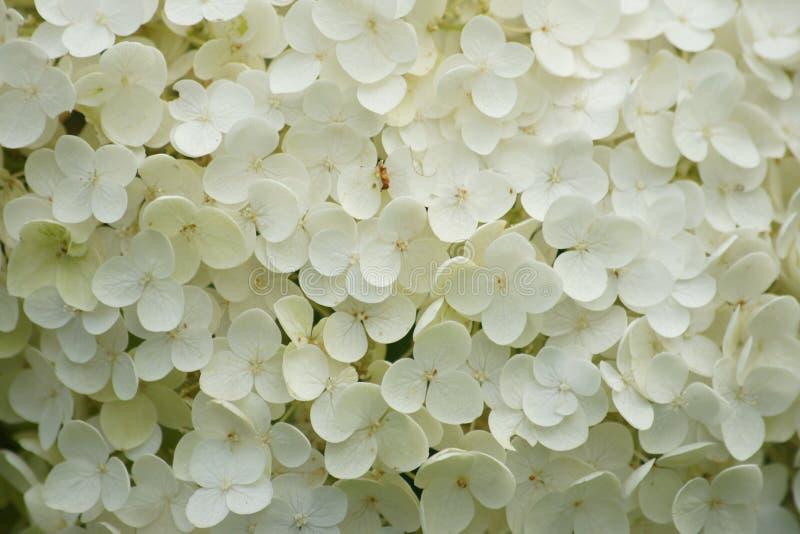 Sluit omhoog van hydrangea hortensia in volledige bloei stock foto