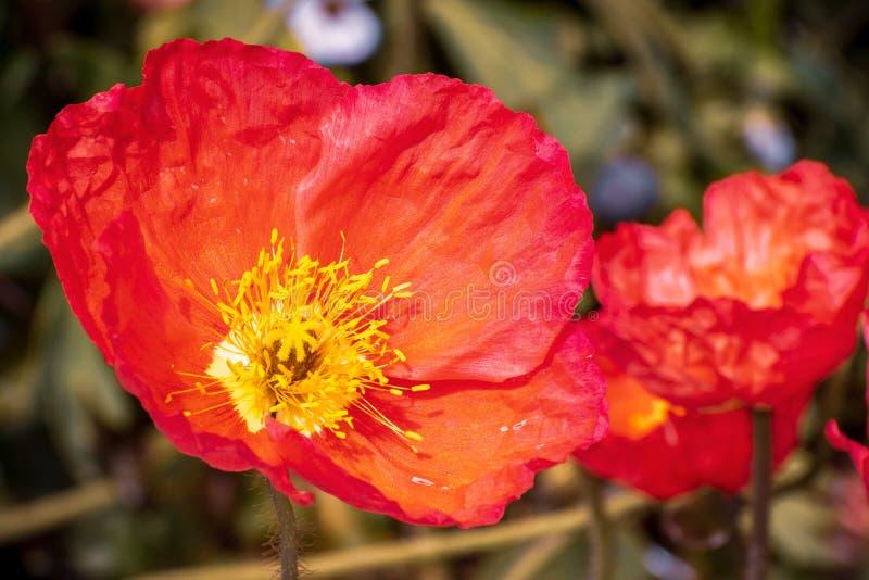 Sluit omhoog van IJsland Poppy Papaver nudicaule bloeiend in een tuin royalty-vrije stock foto's