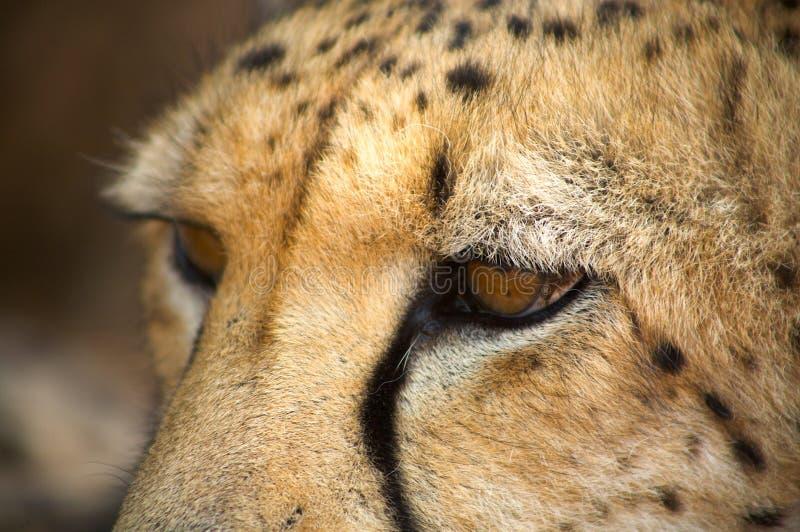 Sluit omhoog van jachtluipaard royalty-vrije stock afbeelding