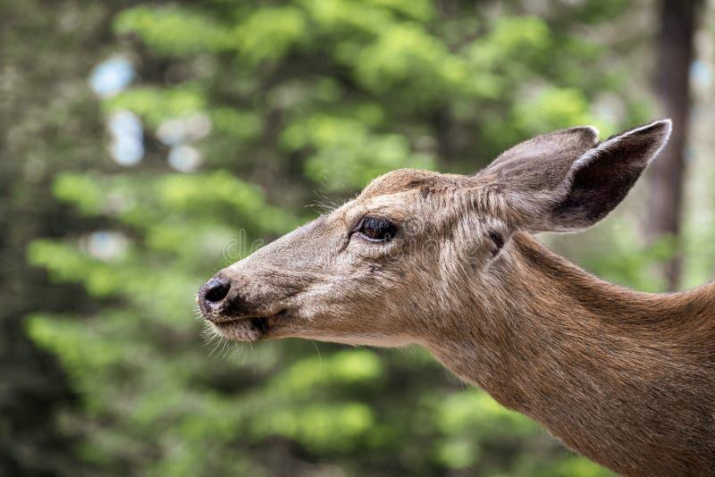 Sluit omhoog van jong hertenhoofd met zwarte staart, het Nationale Park van Yosemite, Californië royalty-vrije stock fotografie