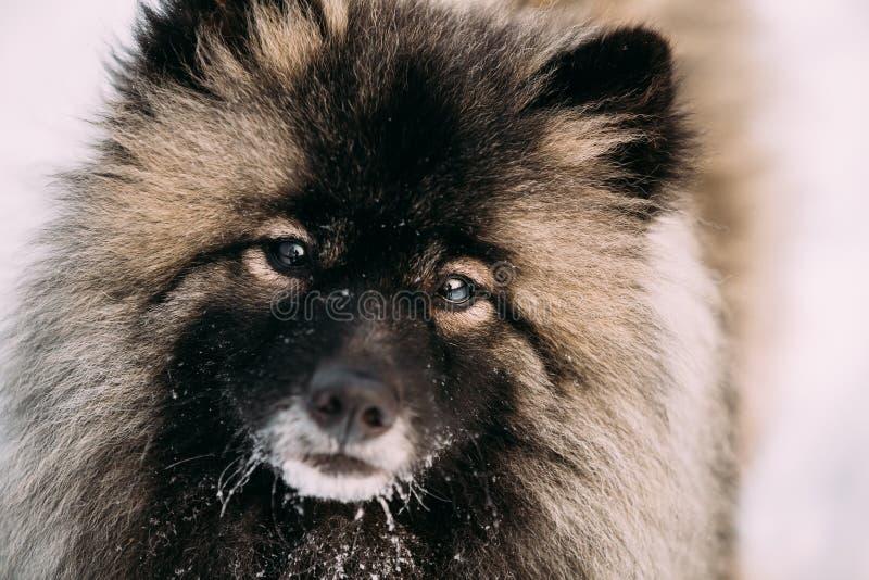 Sluit omhoog van Jonge Keeshond, Keeshonden-Hond in Sneeuw, de Winter royalty-vrije stock afbeeldingen