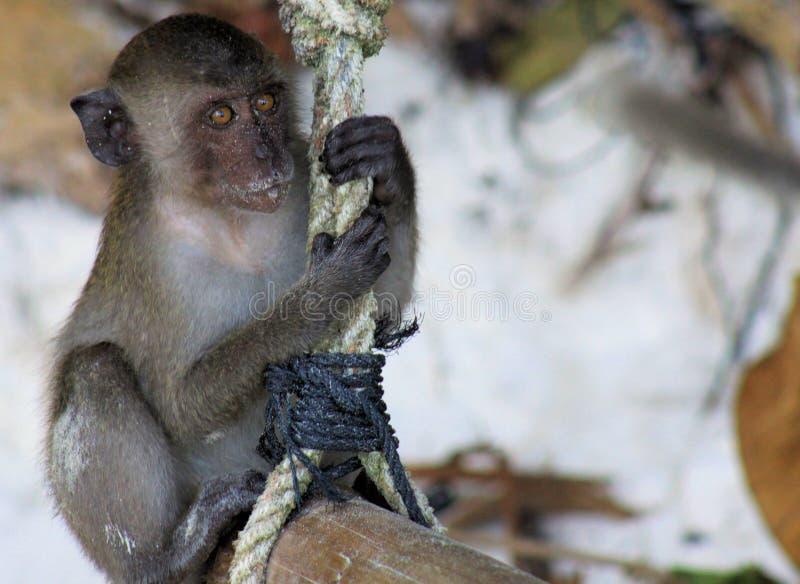 Sluit omhoog van jonge zandige krab die fascicularisschommeling met lange staart van Macaque Macaca op een kabel op strand eten royalty-vrije stock foto