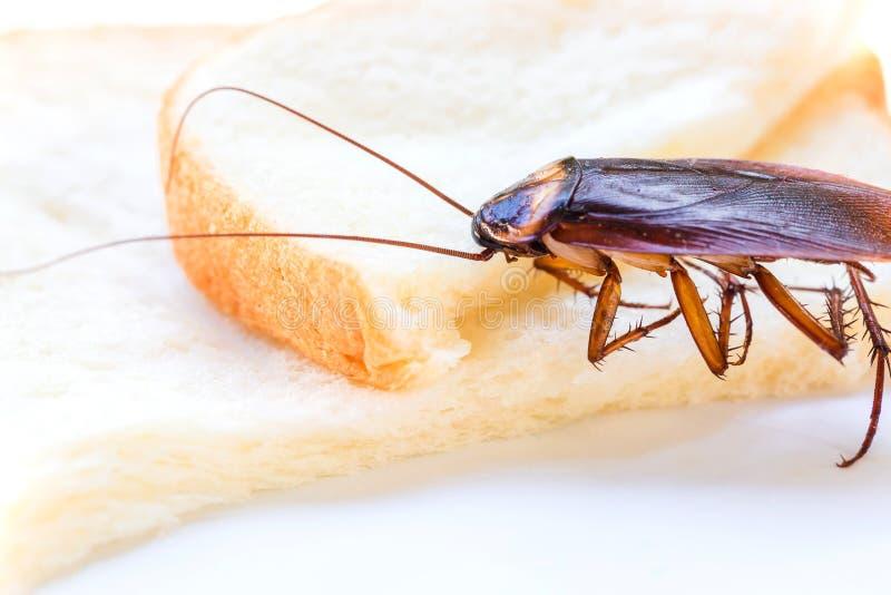Sluit omhoog van kakkerlak op een boterham, Kakkerlak die geheel tarwebrood op witte achtergrond eten als achtergrond royalty-vrije stock fotografie