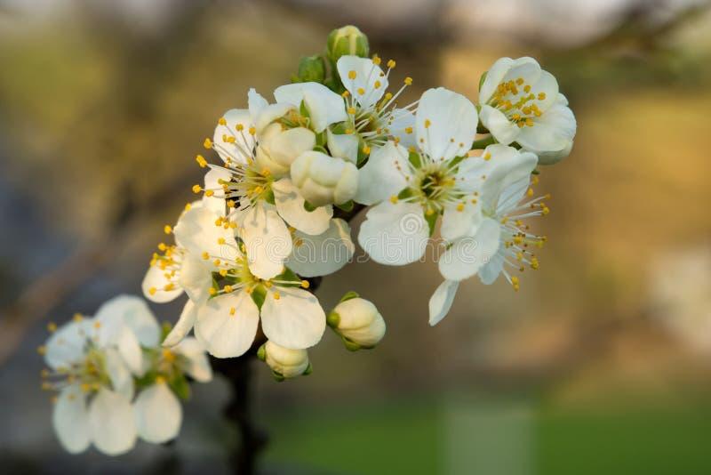 Sluit omhoog van kersenbloesem royalty-vrije stock afbeeldingen