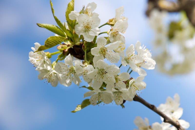Sluit omhoog van kersenbloesem stock fotografie