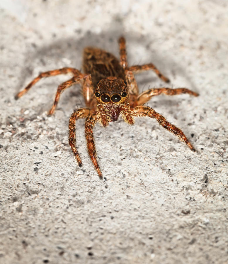 Sluit omhoog van kleine bruine spin Salticidae royalty-vrije stock afbeelding
