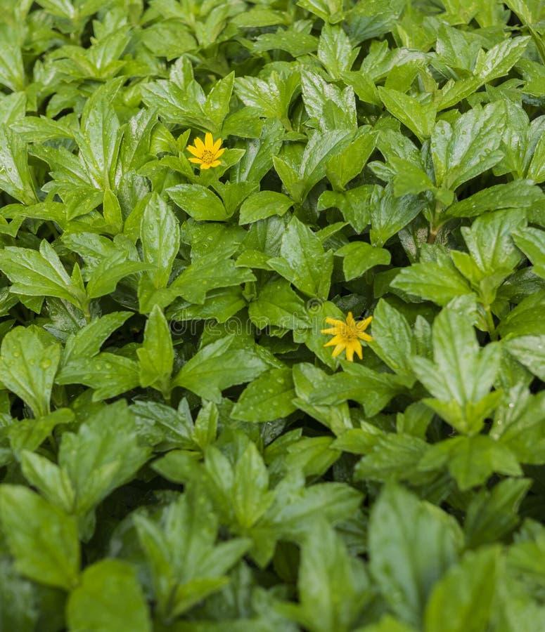 Sluit omhoog van kleine gele bloemen in een overzees van groene bladeren stock foto