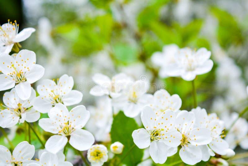 Sluit omhoog van kleine witte bloemen op struiktak Romantische bloeiende struik royalty-vrije stock foto
