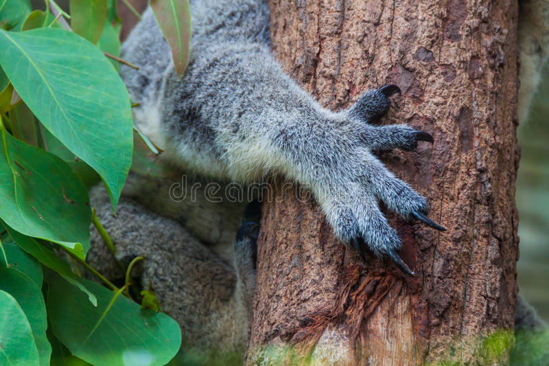 Sluit omhoog van Koalaklauwen royalty-vrije stock afbeelding