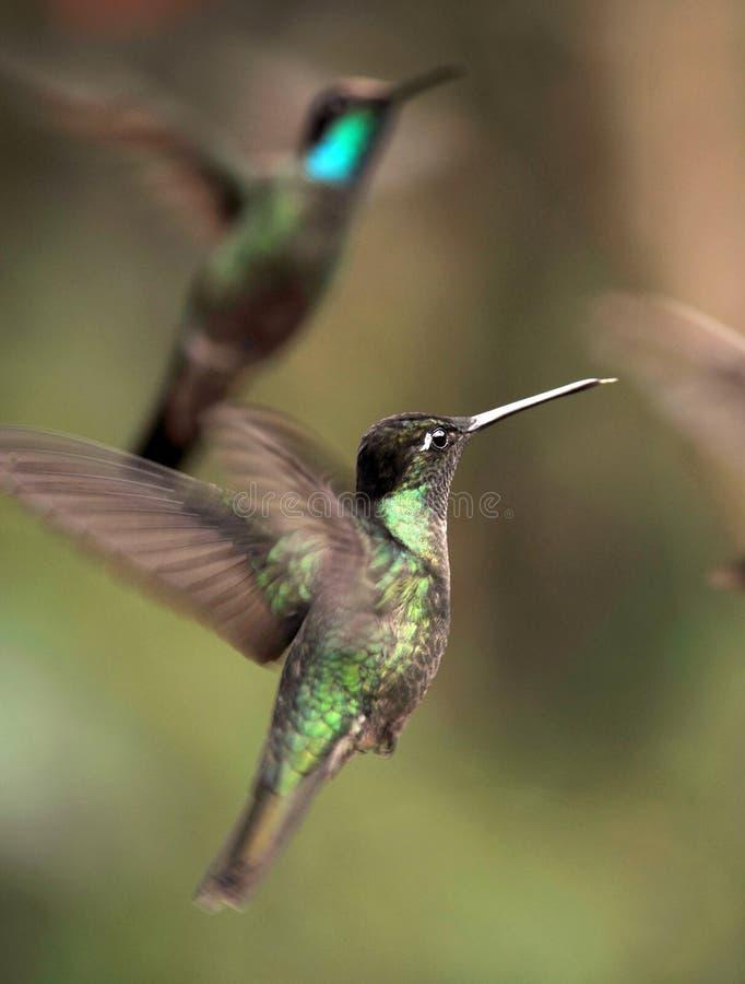 Sluit omhoog van kolibries die, Costa Rica vliegen stock afbeelding