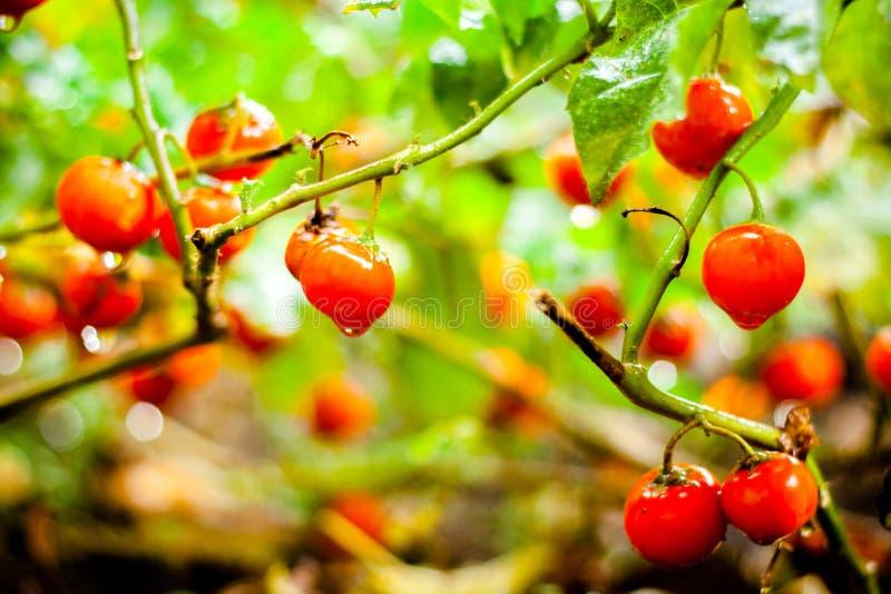 Sluit omhoog van Landbouwbedrijf smakelijke rode tomaten op de struiken stock foto's