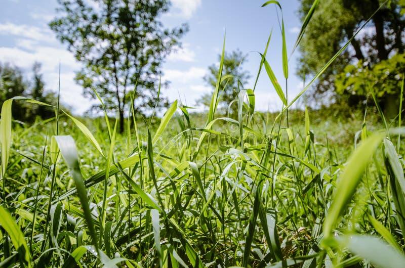 Sluit omhoog van lange grassen in een gebiedsweide op een zonnige de zomerdag in het midwesten de V.S. stock afbeelding