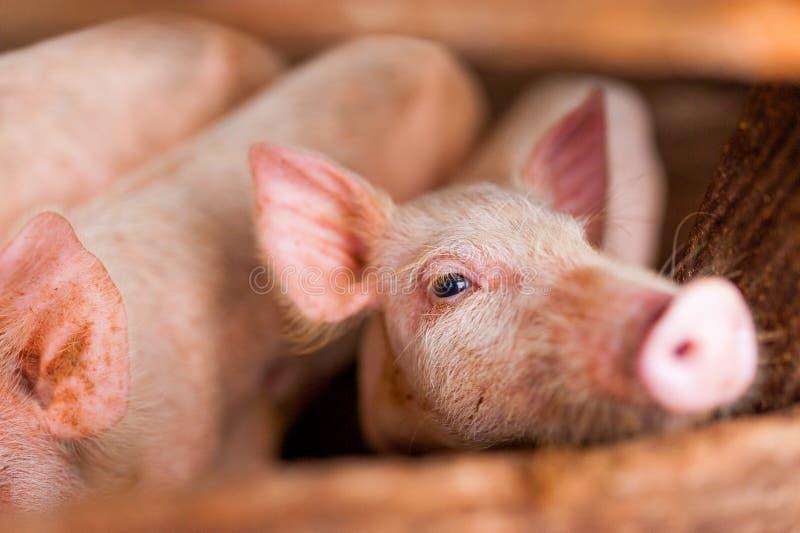 Sluit omhoog van leuk roze varken in houten landbouwbedrijf met zwarte ogen kijkend gezien trog houten omheining in camera stock afbeelding
