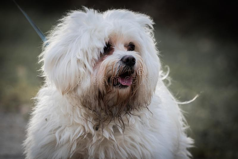 Sluit omhoog van leuke gelukkige en vuile witte Maltese geïsoleerde hond in openlucht het lopen royalty-vrije stock foto