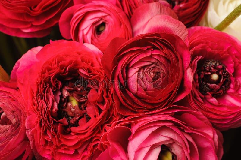Sluit omhoog van levendige rode ranunculus bloem royalty-vrije stock fotografie