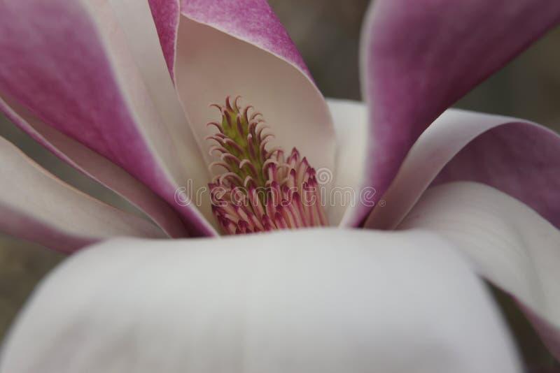Sluit omhoog van magnoliabloem, royalty-vrije stock afbeeldingen