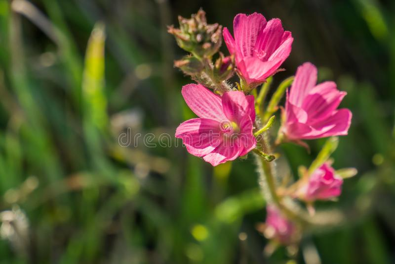 Sluit omhoog van malviflorawildflowers van Checkerbloom Sidalcea, Californië stock foto's