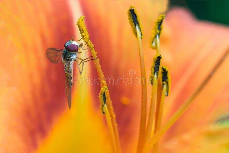 Sluit omhoog van Marmeladehoverfly op een oranje bloem stock foto's