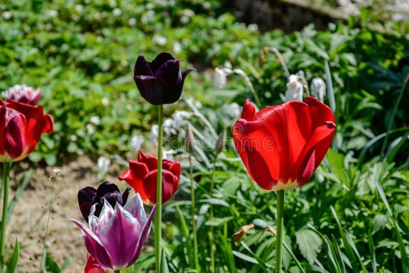 Sluit omhoog van mooie bloeiende rode en zwarte tulpen in de tuin in de lente Kleurrijke de lenteachtergrond Zonnige dag stock fotografie