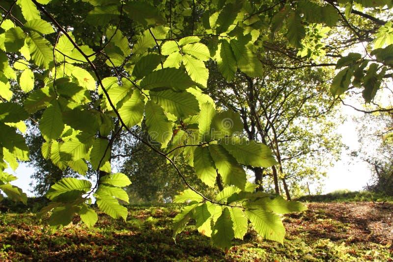 Sluit omhoog van mooie die beukbladeren in zonlicht in bos wordt benadrukt stock foto's