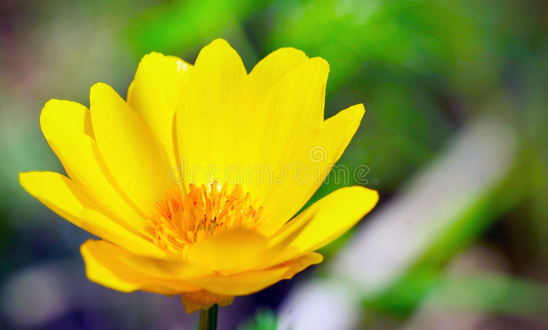 Sluit omhoog van mooie gele bloem op groene achtergrond stock foto's