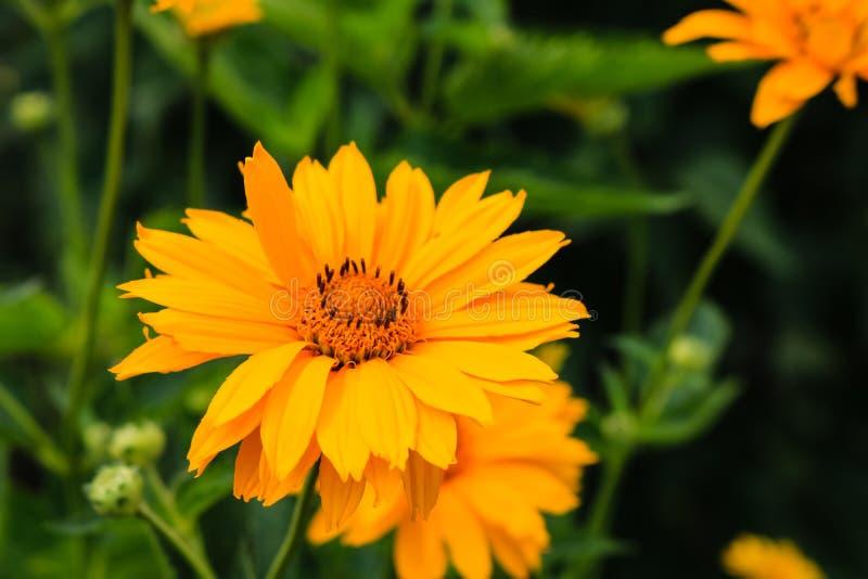 Sluit omhoog van mooie gele de zomerbloemen op een tuin en een achtergrond van groene bladeren stock fotografie