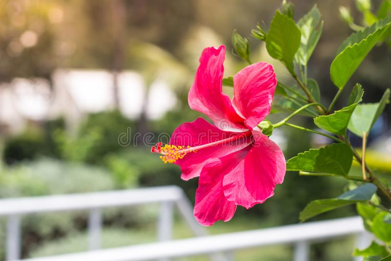Sluit omhoog van Mooie Hibiscus, Chaba-bloem in het bloeien in g royalty-vrije stock fotografie