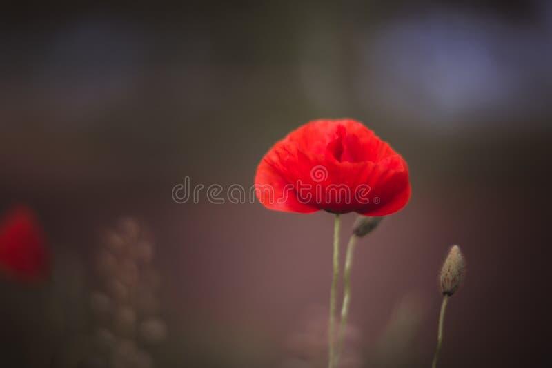 Sluit omhoog van mooie, rode, bloeiende papavers op een natuurlijk gebied Geschoten met uitstekende Helios lens 40 2 royalty-vrije stock foto