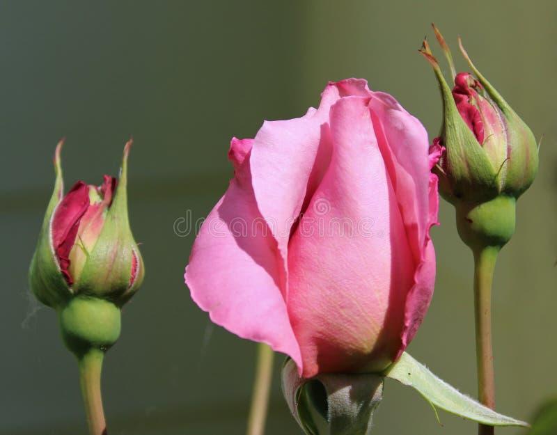Sluit omhoog van mooie roze geurige rozen stock afbeelding