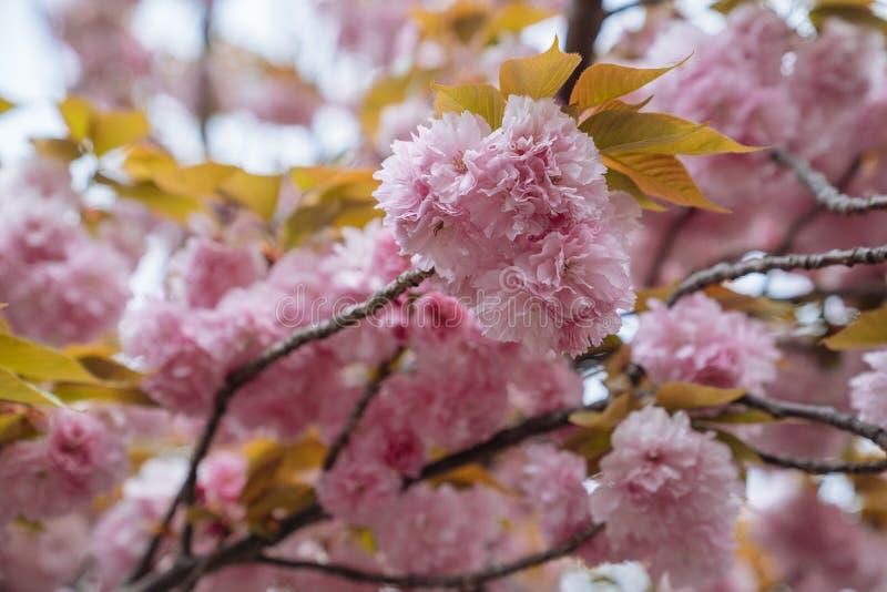 Sluit omhoog van mooie roze sakurabloemen in de ochtend Kersenbloesem met gele bladeren op de boom in de lente verbazende flora royalty-vrije stock foto