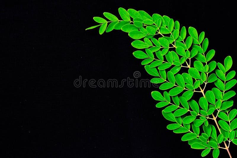 Sluit omhoog van Moringa bladeren op zwarte achtergrond worden geïsoleerd die Moringa Oleifera theebladen op takken met negatieve stock foto's
