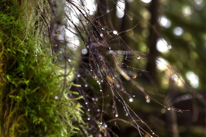 Sluit omhoog van mos op een boom met zeer dunne takken en waterdruppeltjes in Hoh Rain Forest stock foto