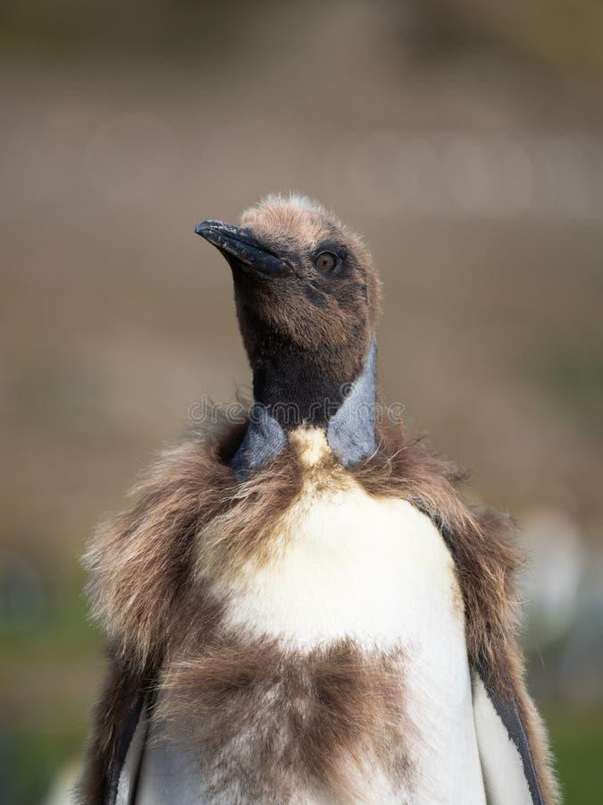 Sluit omhoog van Moulting Koning Penguin royalty-vrije stock fotografie
