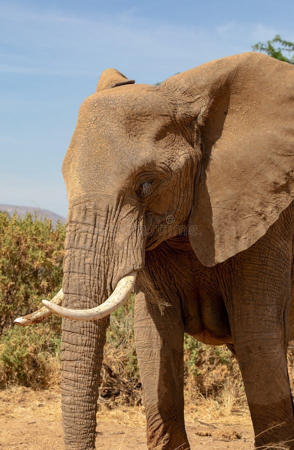 Sluit omhoog van olifant in Kenia royalty-vrije stock foto's