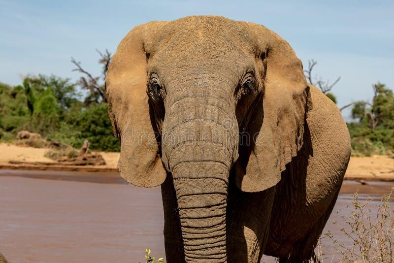 Sluit omhoog van olifant in Kenia op safari stock fotografie
