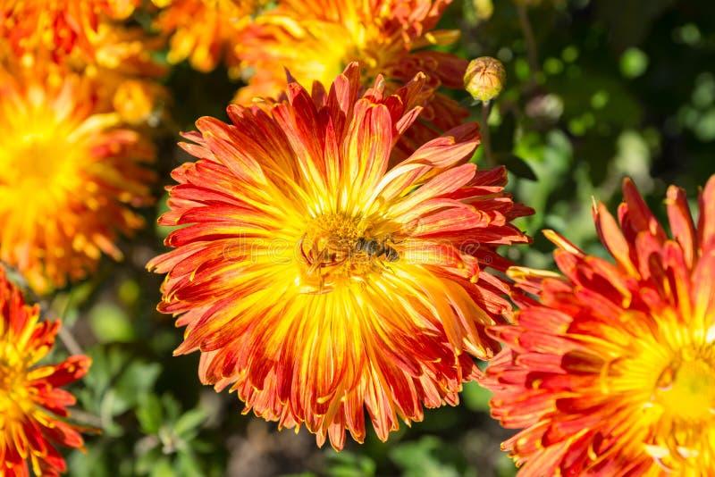 Sluit omhoog van oranje chrysant met een bij stock foto's
