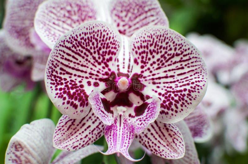Sluit omhoog van orchideebloemen in de beroemde Botanische Tuin van Singapore royalty-vrije stock afbeeldingen
