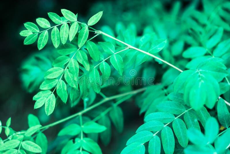 Sluit omhoog van ovale bladeren van de de zomer de valse indigo stock foto