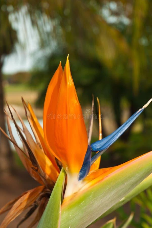 Sluit omhoog van paradijsvogel bloem stock foto