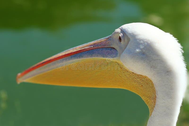 Sluit omhoog van pelikaan` s hoofd, profielportret stock afbeeldingen