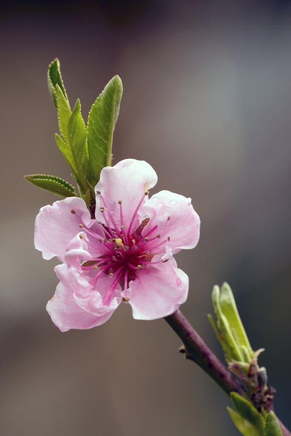 sluit omhoog van perzikbloemen stock foto's
