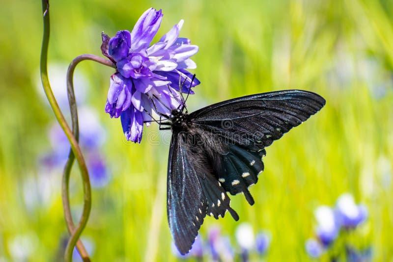 Sluit omhoog van philenor van Pipevine swallowtail Battus het drinken nectar van een Blauwe Dick Dichelostemma-capitatum wildflow stock afbeeldingen