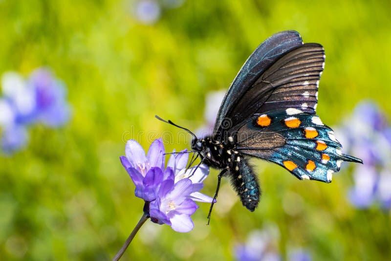 Sluit omhoog van philenor van Pipevine swallowtail Battus het drinken nectar van een Blauwe Dick Dichelostemma-capitatum wildflow royalty-vrije stock fotografie