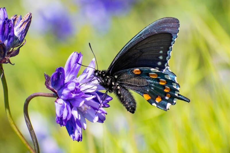 Sluit omhoog van philenor van Pipevine swallowtail Battus het drinken nectar van een Blauwe Dick Dichelostemma-capitatum wildflow royalty-vrije stock foto's