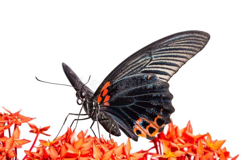 Grote Mormoonse (memnon agenor Papilio) vlinder stock afbeeldingen