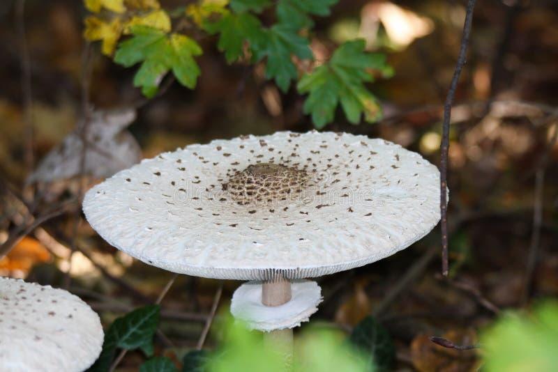 Sluit omhoog van procera van Macrolepiota van parasolpaddestoelen in underwood van een Nederlands bos royalty-vrije stock foto